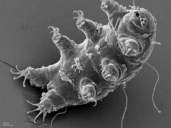 tardigrade-water-bear-esa-schill