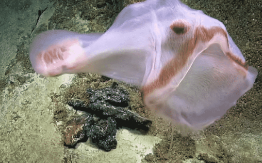 Deep-sea Explorers Find Rare Shapeshifting Sea Creature Resembling Strange Alien Life Form
